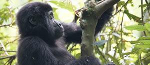 Rwanda Gorilla
