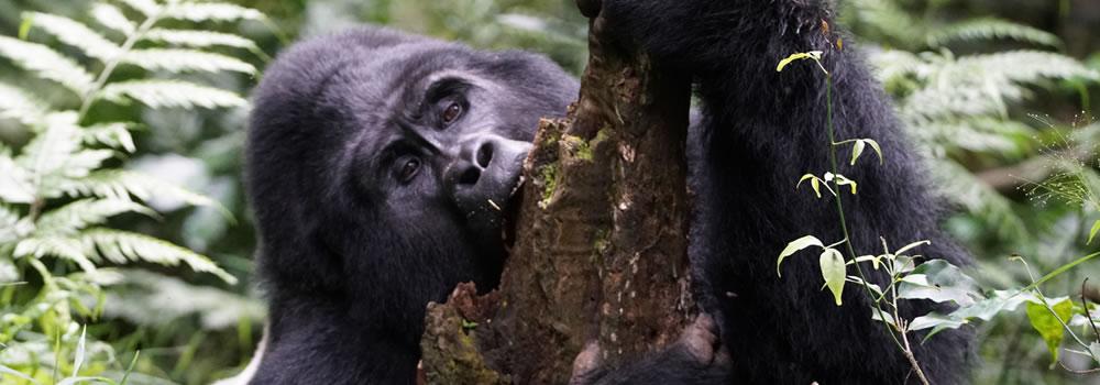Gorill trekking